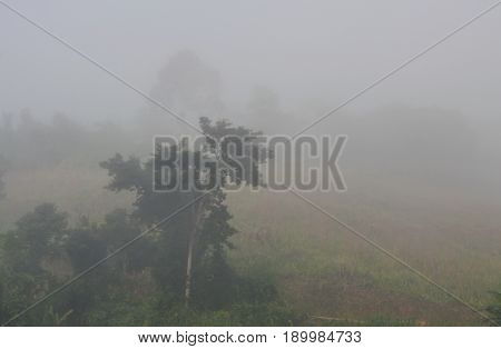 big tree cover by heavy mist in Thailand winter morning