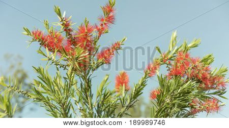 Red flowers and green foliage of Callistemon Bottlebrush a native wildflower of Australia against clear blue sky
