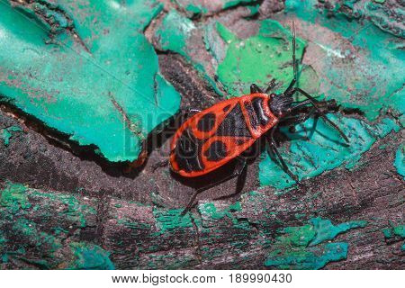 Red soldier bug crawls along the trunk of a colored tree. Closeup.