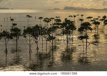 Mangroves plants on the beach in sea water wave during sunset. Island Koh Phangan Thailand