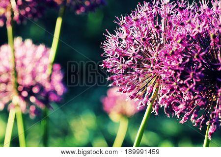 Close up of Purple Allium flower blooming in garden .