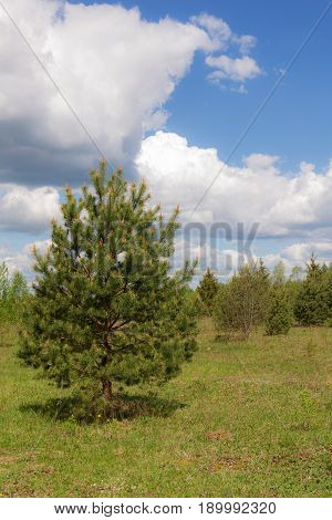 Spring landscape with a pine in the foreground