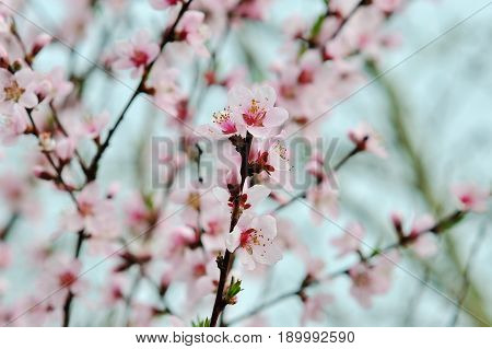 spring tree with pink flowers almond blossom on a branch on green background on blue sky