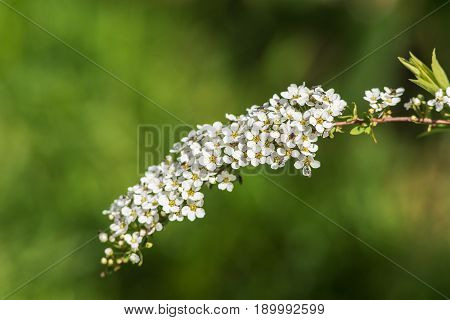 Flowering spiraea branch in the foreground closeup