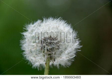 white dandelion fluff. Dandelion tranquil abstract closeup art background. dandelion air white beautiful meadow flower