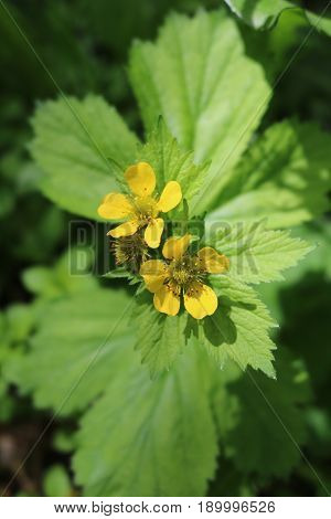 Gravel of Aleppo, or straight (Geum aleppicum) - a herbaceous perennial plant is called a clove root