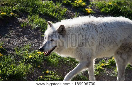 Close up of a gray wolf at the Grizzly and Wolf Discovery Center near Yellowstone National Park. Wolf is walking toward the left. poster