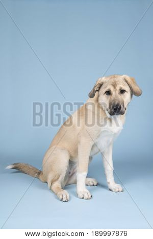Mixed breed young dog in studio with blue background