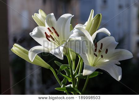 Madonna Lilly flower, Stargazer lilly, white Lilly flower