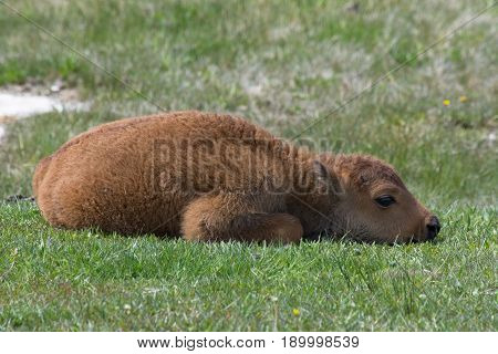 Close up of a bison calf curled up on green grass ready for a nap. Photographed in Yellowstone National Park.