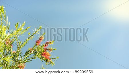 Sunlight on Australian callistemon blossoms condolence funeral background with clear blue sky red flowers and green leaves