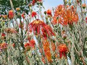 FROM KIRSTENBOSCH BOTANICAL GARDENS, CAPE TOWN, SOUTH AFRICA, ORANGE PROTEAS  poster