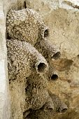 A mud swallows nests on a cliff. poster