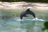 Dolphin jumping off the beach in Hawaii poster