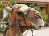 Turkish camel in harness close up photo poster