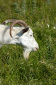white bearded goat grazing at the green meadow poster