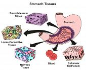 Stomach Tissues Types and Structure infographic diagram including smooth muscle loose connective nervous blood, columnar epithelium for medical science education and health care poster