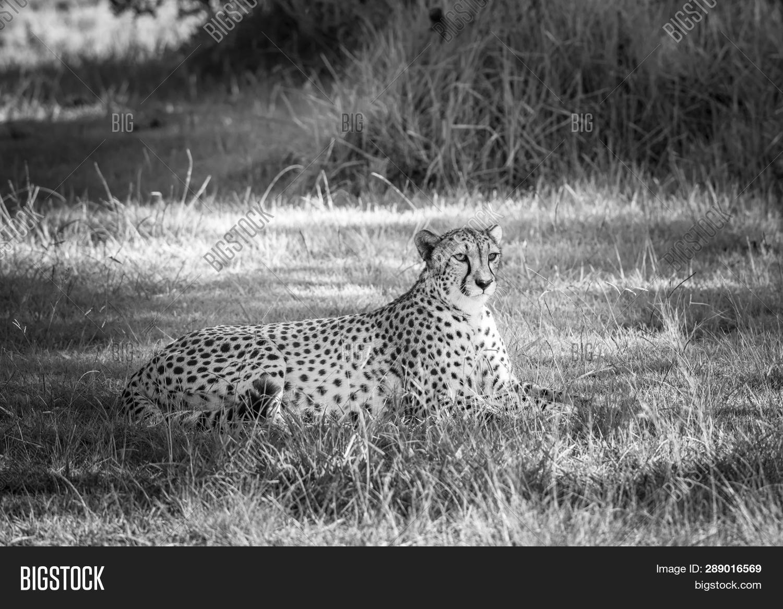 Cheetah Grass South Image Photo Free Trial Bigstock