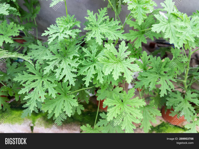 Citronella Plant Image Photo Free Trial Bigstock