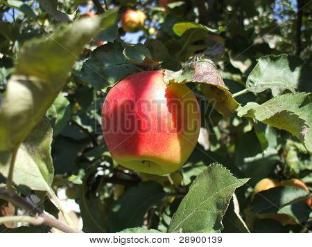 Red Apple In Tree