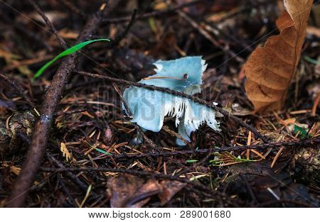 A Blue Roundhead Mushroom (stropharia Caerulea) Beginning To Decompose In Nesscliffe, Shropshire, En