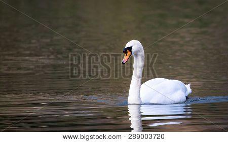 A Mute Swan (cygnus Olor) Swims In The River Severn In Shrewsbury, Shropshire, England.