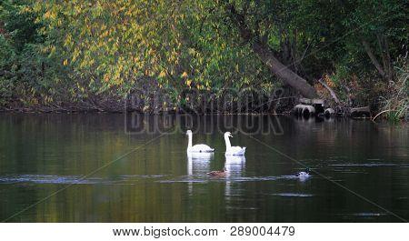 A Pair Of Mute Swans (cygnus Olor) Swim Past A Pair Of Mallards (anas Platyrhynchos) On The River Se