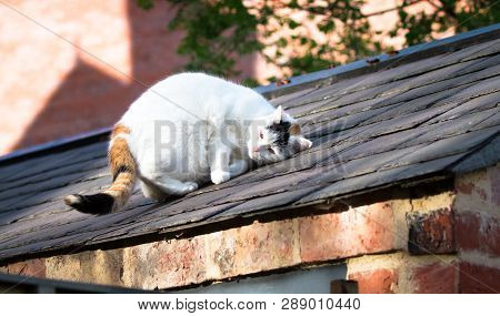 A Large White House Cat Relaxes In The Sunshine And Rubs Its Face On A Roof In Shrewsbury, Shropshir