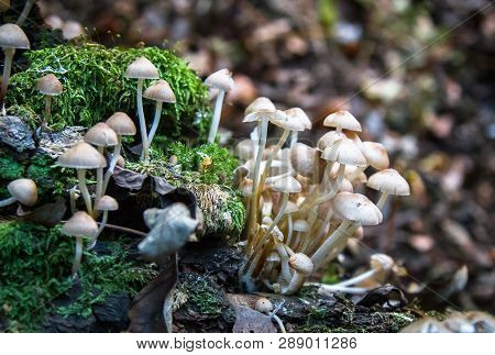 A Group Of Small White-brown Mushrooms Grow On A Log In Rural Shropshire, England.