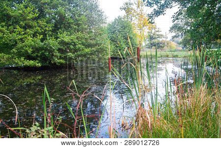 Highly Invasive Reedmace Plants (typha Latifolia) Grow In A Small Pond Surrounded By Trees And Grass