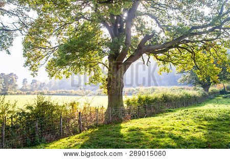 Light Filters Through A Large Oak Tree Along A Fenceline Between Grazing Pastures In Shropshire, Eng