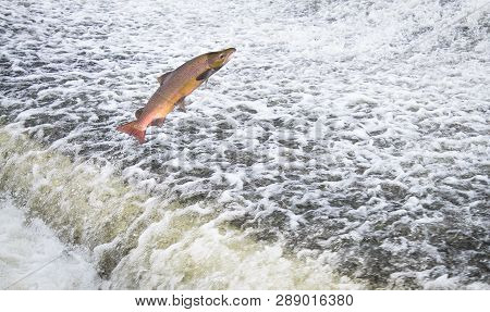 An Atlantic Salmon (salmo Salar) Jumps Out Of The Water At The Shrewsbury Weir On The River Severn I