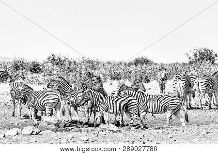 Burchells Zebras And Hartmann Mountain Zebras At The Rateldraf Waterhole In North-western Namibia. M