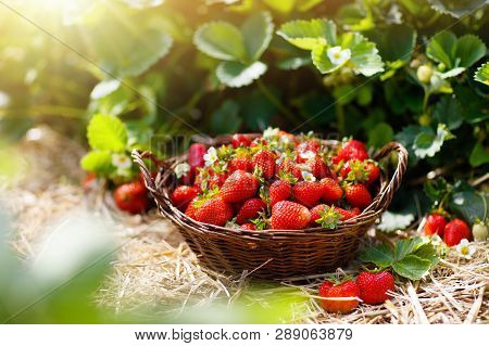 Strawberry Field On Fruit Farm. Fresh Ripe Organic Strawberry In White Basket Next To Strawberries B