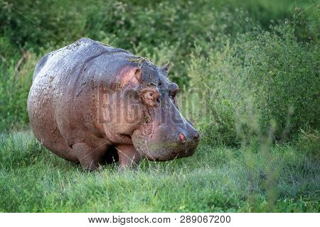 One adult hippopotamus emerges from the marshes of Amboseli National Park, Kenya.
