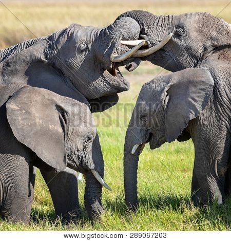 Adolescent elephants entwine trunks during a group interaction.  This behaviour is both a way of communicating and having fun. Two younger claves stand infront of the older family members.