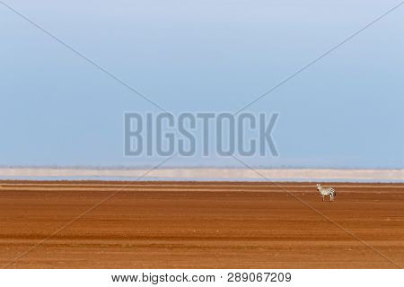 Lone zebra in the red soil of the dry Pleistocene lake basin of Amboseli National Park, Kenya. Heat haze, blue sky and space for text. Minimalism style with blue and orange complimentary colours.