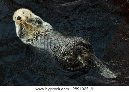 Sea otter (Enhydra lutris) swimming in the sea.