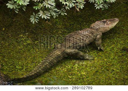 American alligator (Alligator mississippiensis). Wild life animal.