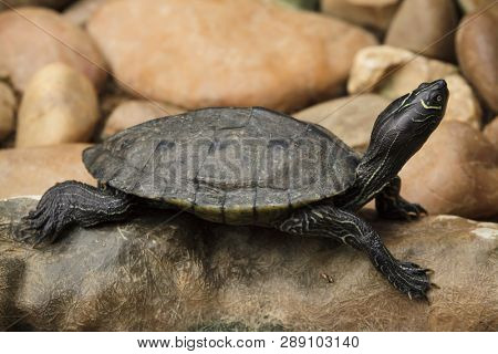 Florida red-bellied cooter (Pseudemys nelsoni), also known as the Florida redbelly turtle.