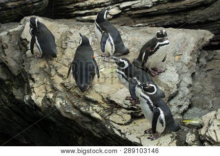Magellanic penguin (Spheniscus magellanicus). Wildlife birds.