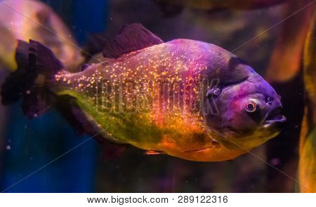 Red Bellied Piranha, A Colorful Fish With Golden Glittery Scales, Tropical Fish From The Amazon Basi