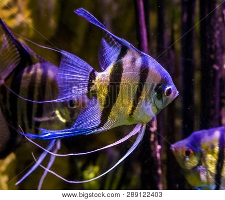 freshwater angelfishes swimming in the water, closeup of angelfish, popular pets in aquaculture, tropical fish from the amazon basin poster