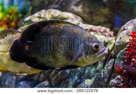 oscar tiger cichlid with mostly solid grey color and a few orange spots, popular pet in aquaculture poster