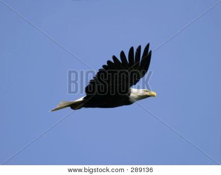 Weißkopfseeadler im Flug