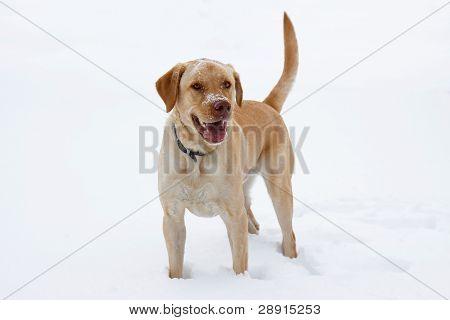 Yellow Labrador Play In The Snow