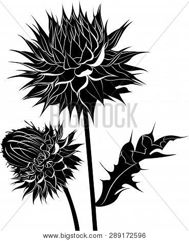Milk Thistle Thistle Flowers Isolated On White Background