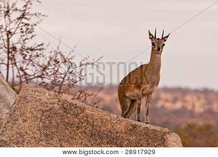 One male klipspringer standing on a rock overlooking the wilderness poster