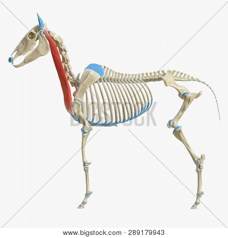3d rendered medically accurate illustration of the equine muscle anatomy - Brachiocephalicus