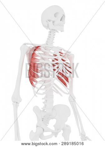 3d rendered medically accurate illustration of the Serratus Anterior